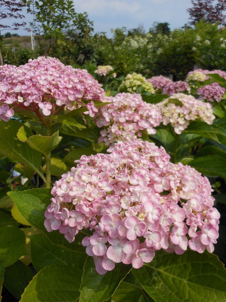 17 best images about hydrangeas my favorite hortensia. Black Bedroom Furniture Sets. Home Design Ideas