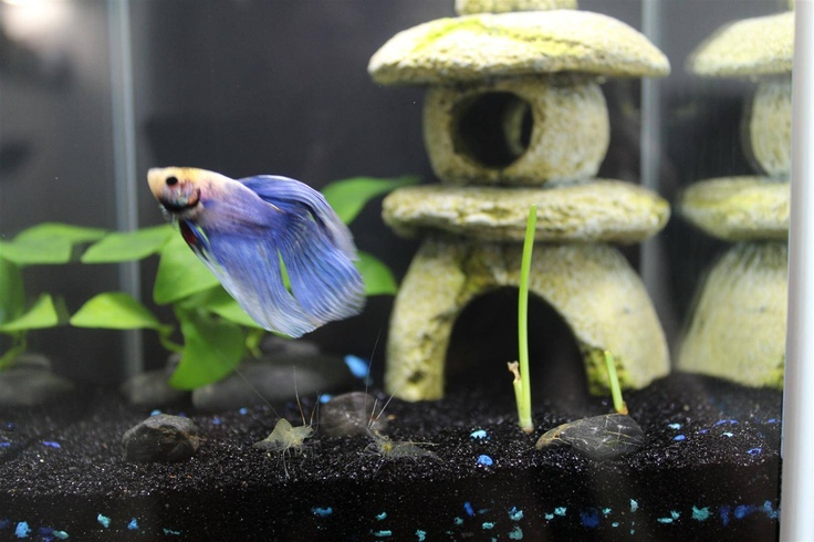 19 best images about fluval tanks on pinterest photo for Best water for betta fish