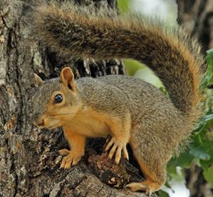 Home Remedies To Get Rid Of Squirrels Pests Pinterest We We Have And Backyards