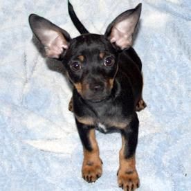 Jack is a Cheweenie who needs a home.   Pet Finder | Dog Finder | petMD
