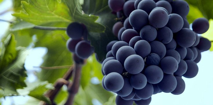 Some grapes are more finicky, requiring a light touch, a keen eye and the patience to not tear them out by the roots when they call it quits after a slight change in weather. Others, like the dark-...