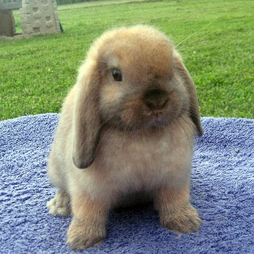 Baby Holland Lop I am becoming a crazy Rabbit lady!