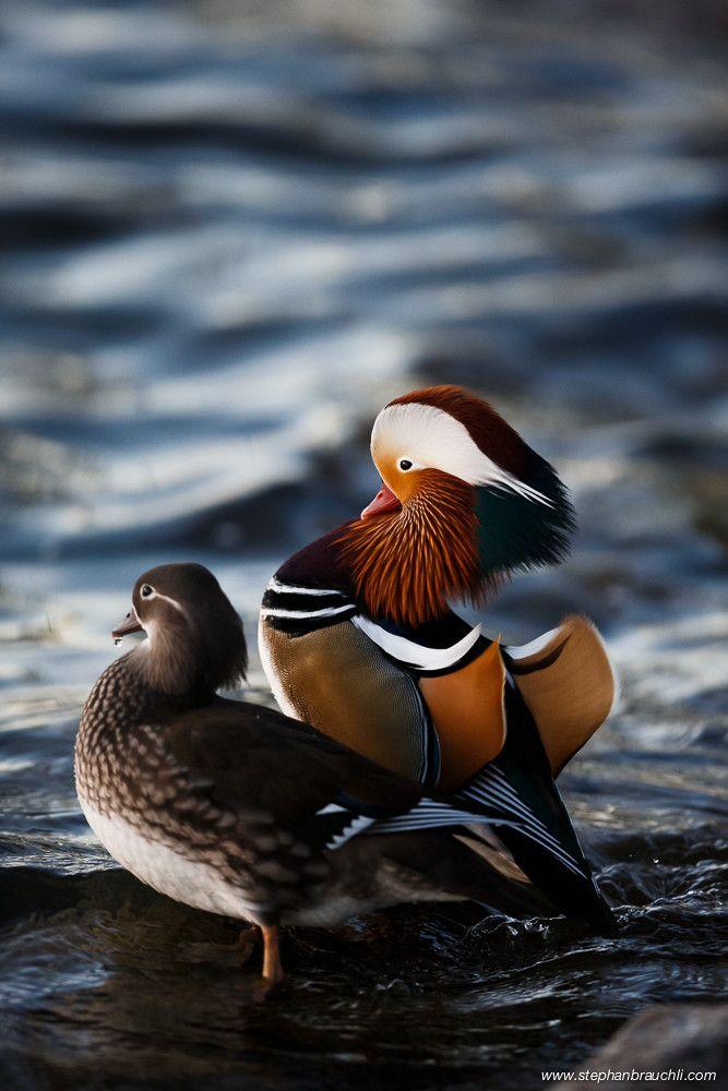 Mandarin Duck pair female-male / Aix galericulata / Canard mandarin : Le Canard mandarin est une espèce de canards appartenant à la famille des anatidés, originaire d'Asie du Sud-Est. Wikipédia
