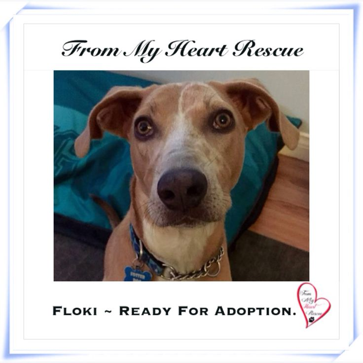 #Please ❤️+ #PIN #FMHR #FromMyHeartRescue #RescueWithoutBorders #SavingOneDogAtaTime ~ #Floki #Is #Ready #For #Adoption *Floki's Petfinder Bio: https://www.petfinder.com/petdetail/31853932 *Thank you❤️ *Info, Foster, Adoption, PayPal & e-transfer: frommyheartrescue@hotmail.com *Our Vets: Brock St. Animal Hospital 905-430-2644 *Fundraising & Volunteering: FMHRfundraising@hotmail.com *www.frommyheartrescue.com *www.petfinder.com/shelters/ON441.html *Find us on…