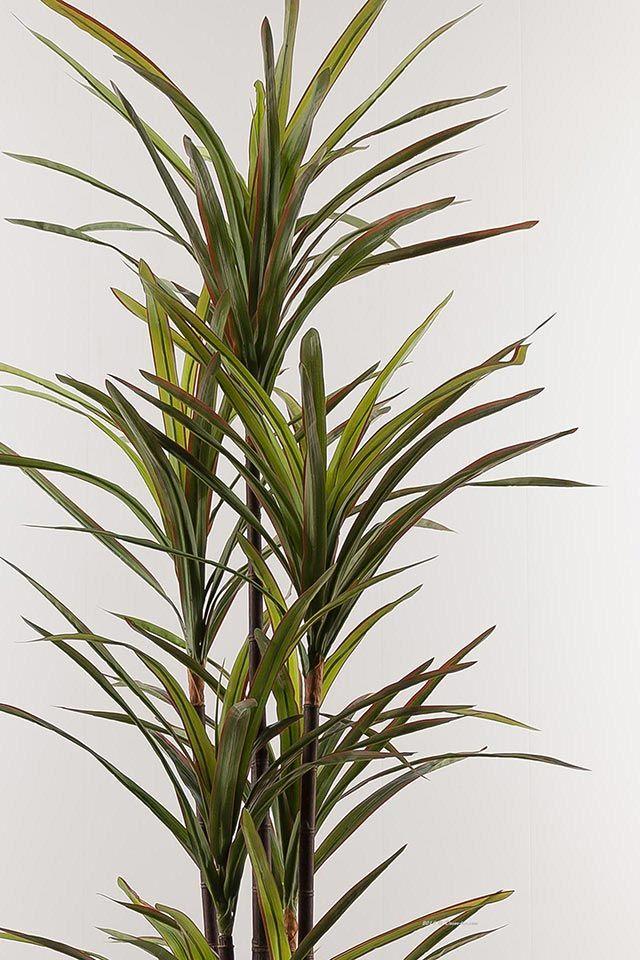 Драцена marginata Magenta, 190см.