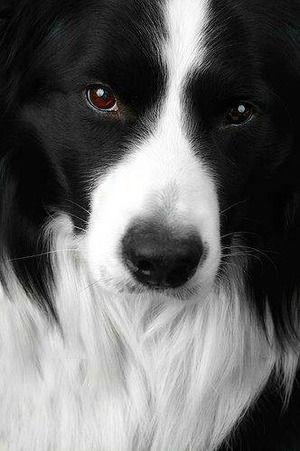 Border Collie (Black  White)