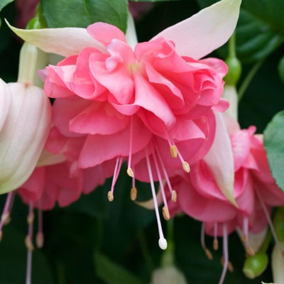 Fuchsia - gorgeous flowering plant. Too bad it can't grow here in Singapore. :(