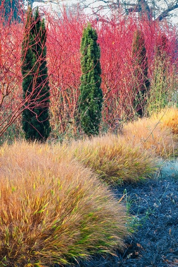 """This is on the edge of the Summer and Winter Garden and keeping with geographical terms Adrian Bloom has created a """"black sea"""", with a breaking wave of Hakonechloa. This now in late autumn shows the red stems of the Cornus highlighted by the dark green pillars of Taxus, autumnal tones of the grass..."""