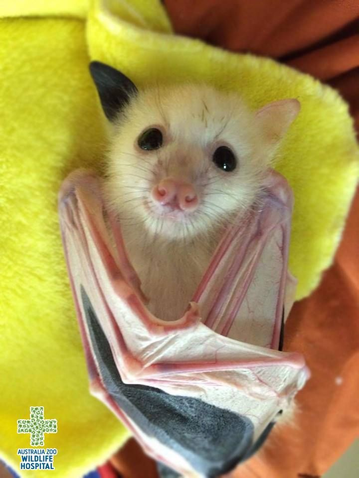 Australia Zoo Wildlife Warriors   This little pup is a rarely seen threatened white grey-headed flying fox, he has a condition called leucism, partial loss of pigmentation means his skin and hair, but not his eyes, are white in colouration. Thanks to Australian Bat Clinic & Wildlife Trauma Centre for taking care of this special little guy!