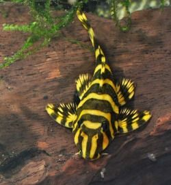 What an amazing world we live in! Striped Pleco .. Fresh Water Fish-sometimes called a tiger pleco...........has a white variety the zebra pleco......can get 12 inches and don't like other plecos