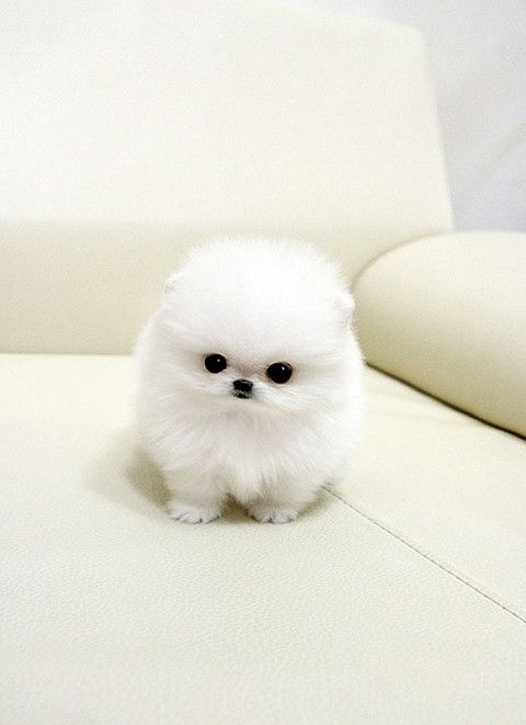 Smallest Dog in the world