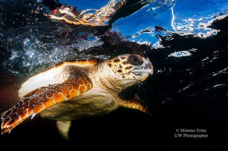 Il ritorno in mare delle tartarughe: le foto subacquee