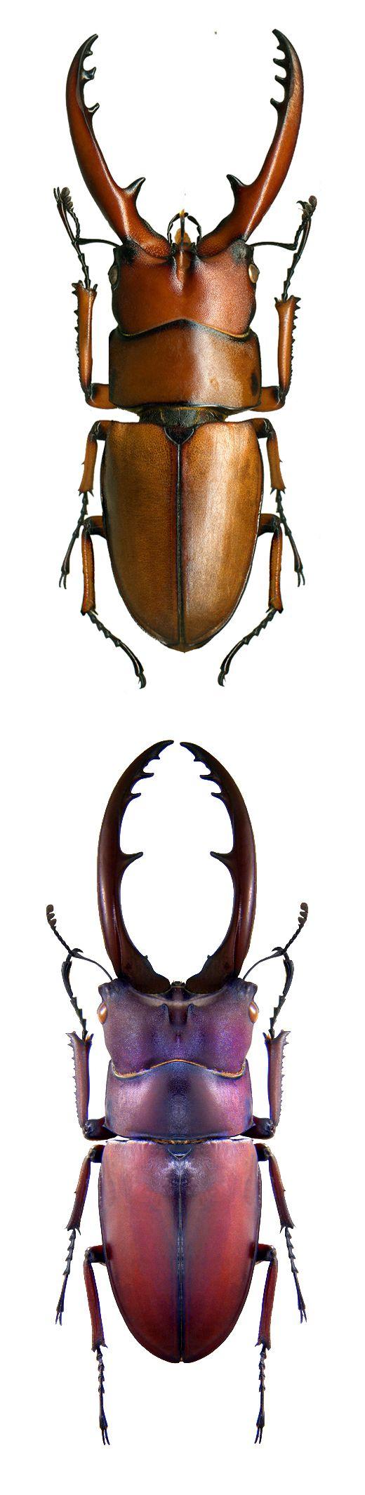 Prosocopoilus astacoides; Prosopocoilus astacoides castaneus