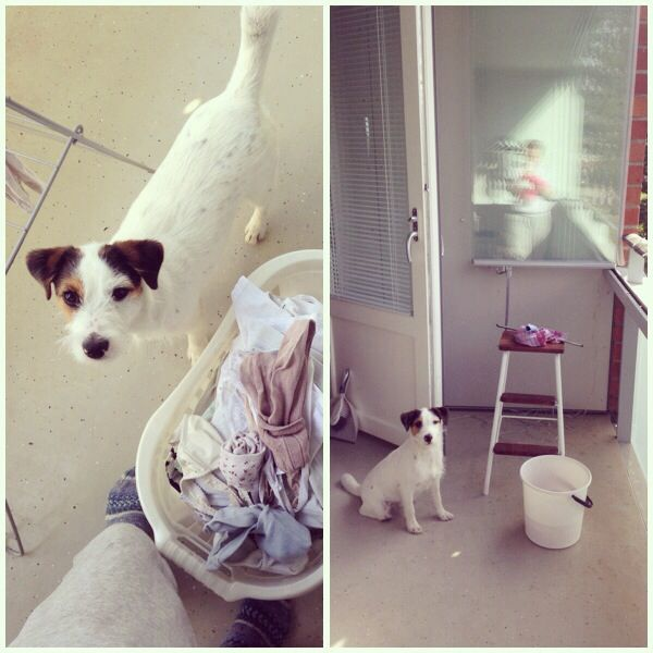 Goku the little helper. #jackrussell #dog
