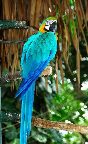 Guacamayo azul amazonas colombia - Google Search