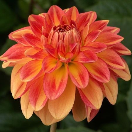 "Dawn Chorus Dahlia (6-8"" bloom): miniature decorative; orange and yellow blends."