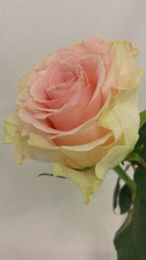 Rose - Soduko