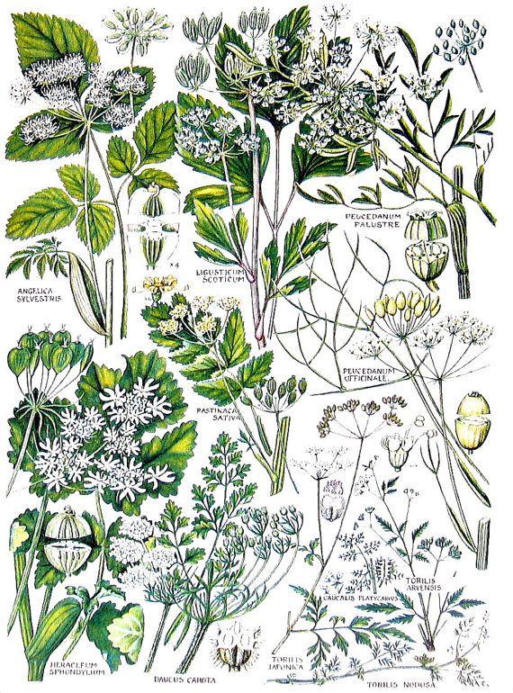 British Flowers  Wild Angelica Wild Parsnip by mysunshinevintage, $10.00