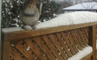 Squirrel who comes every day for nuts (via oowot.com)
