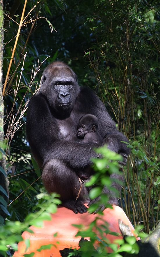 Disney's Animal Kingdom celebrated the arrival of a new baby in the gorilla family this month.