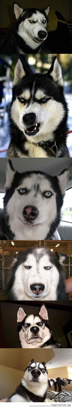 Huskies make the best faces.