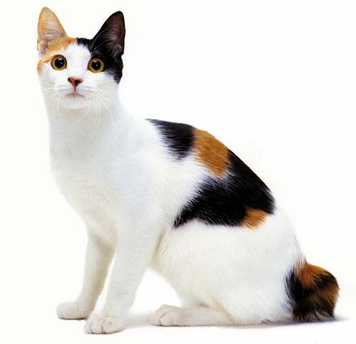 """Japanese Bobtail- The Japanese Bobtail is a breed of domestic cat with an unusual """"bobbed"""" tail more closely resembling the tail of a rabbit than that of other cats"""