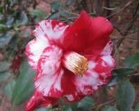 Цветок камелия японская: уход в домашних условиях + 30 фото
