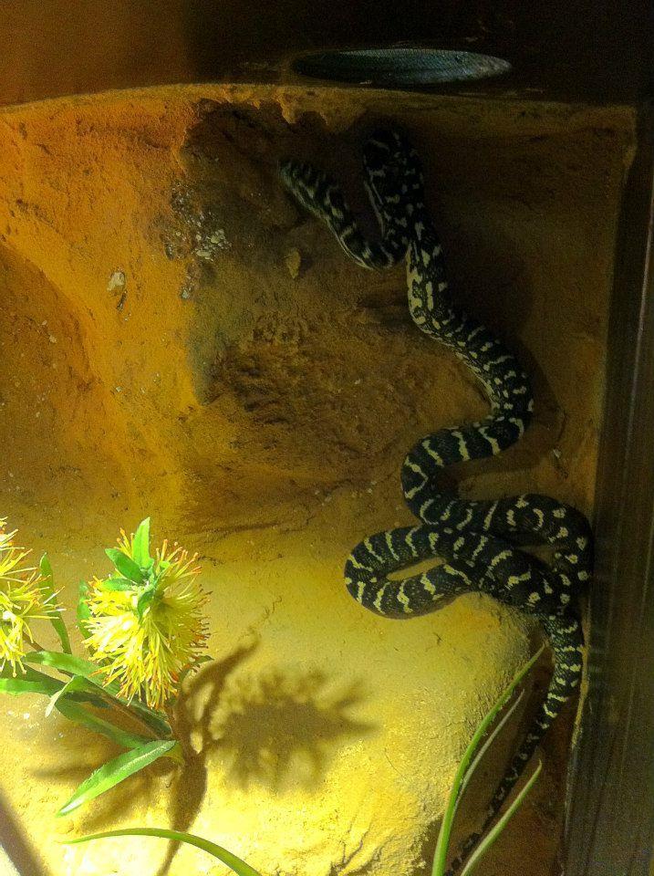 H P Reptiles 8 best Low Line...