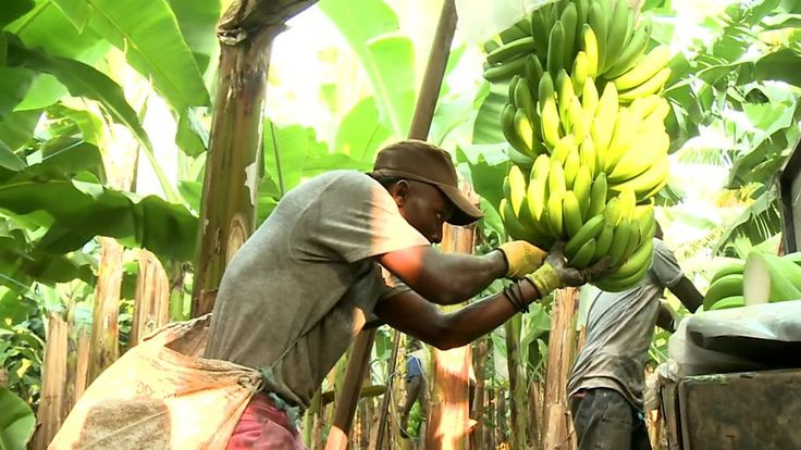 Angola is Africa's second largest oil producer but the sector is in trouble and this has led to a squeeze on foreign currency. The BBC's Taurai Maduna visited a banana plantation in Caxito in northern Angola, to see how fruit farming is proving itself to be a lucrative way of diversifying the economy.   #Business