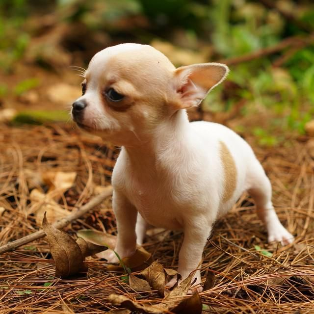 Chihuahua short hair breed by Von Guile ( Rio Farm Bandung ) www.riofarm.com