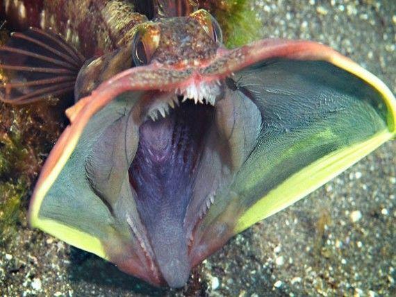 17 ideas about weird sea creatures on pinterest deep for Weird deep sea fish