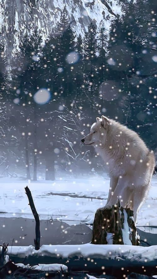 "Have you ever wondered what a Husky or a Wolf thinks when they see the snow?   ""PLAY TIME!"""
