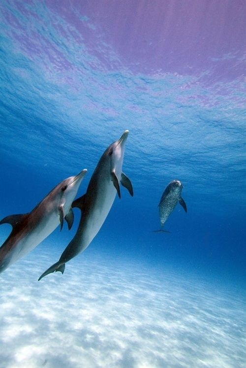 110 best dolphins images on pinterest dolphins fish and fluffy pets