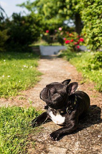 Frenchie sunning
