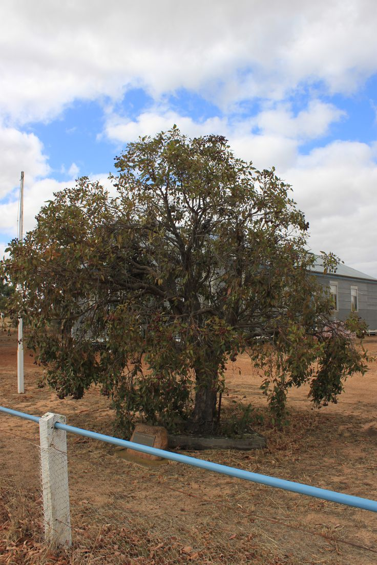 Centenary of Education commemorative tree planted by Albert J. Redford & Kenneth G. Maybery in the Hall Reserve on 14.89.1986, to honour former teachers & pupils of Nurcoung State School No. 2768.