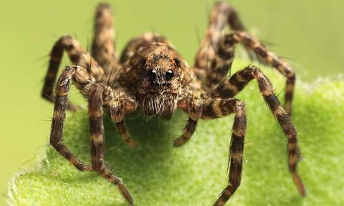 Wolf spider are swift hunters with outstanding vision.Learn more facts,pictures,videos info about wolf spiders and how to get rid these pests