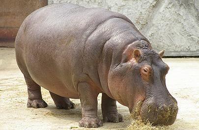 Hippo: Rino Hippo,  Hippopotamus Amphibius, Animal
