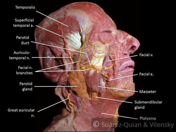 les meilleures id es de la cat gorie facial nerve