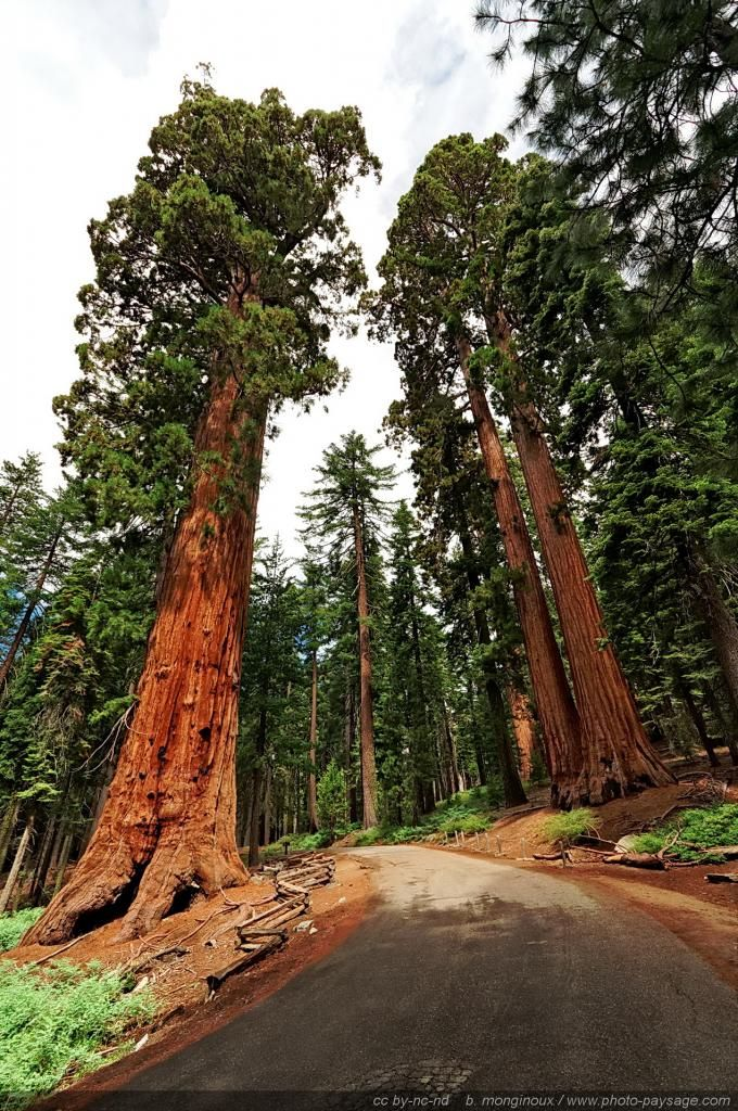Faithful couple -Giant sequoias of Mariposa Grove. Yosemite National Park, California, USA