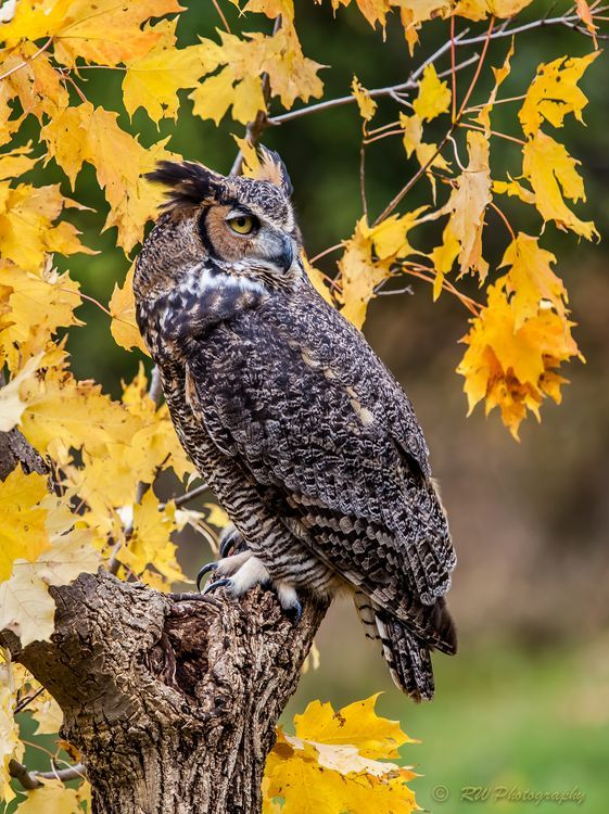 Great Horned Owl Photo by Richard Winberg — National Geographic Your Shot