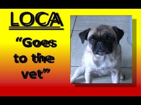 Loca the Pug Goes to the Vet--The cutest song accompanies this video