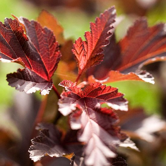 Diabolo Ninebark - stands up to heat, drought, and winter cold and is usually ignored by deer and rabbits, beautiful purple leaves.