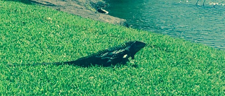 iguanas were part of the gallery at the FCWT junior golf tournament at Hollywood Beach