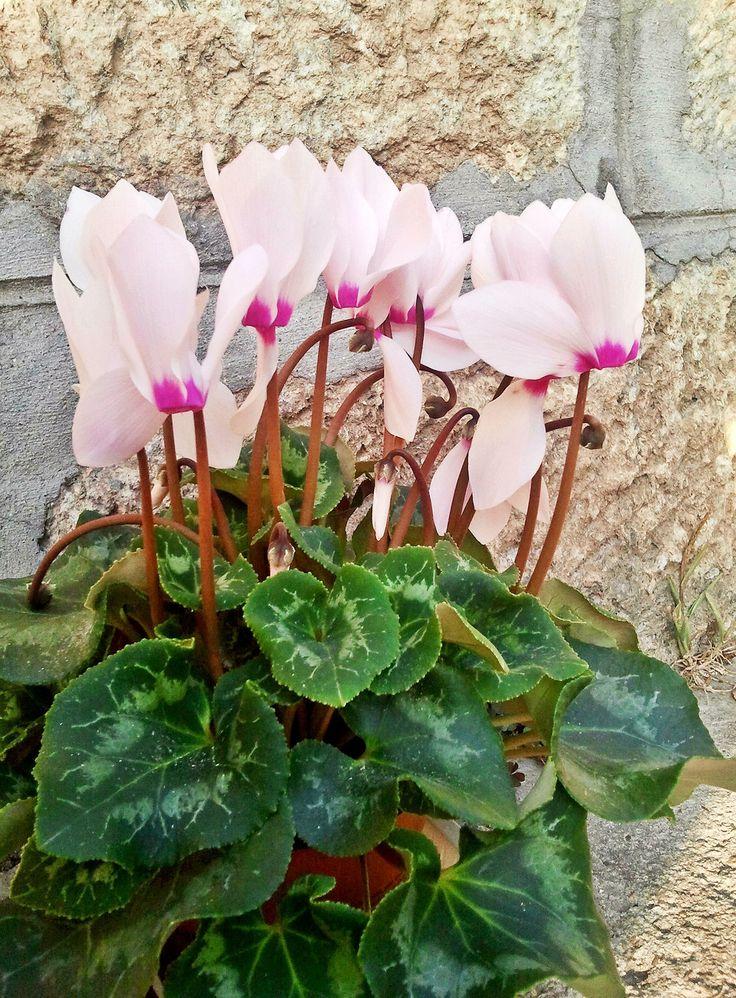 цикломения цветок уход пересадка фото лучших
