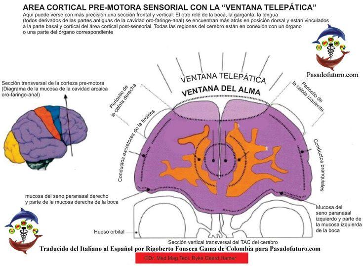 Corteza Cerebral Sensorial Premotora Ectodermo Nueva Medicina Germanica Hamer NMG Leyes Biologicas 5LB