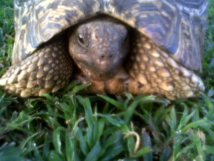 Leopard Tortoise visiting the Khaya Ndlovu garden. Aint he a handsome fellow