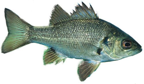 image of australian bass-Fish identification