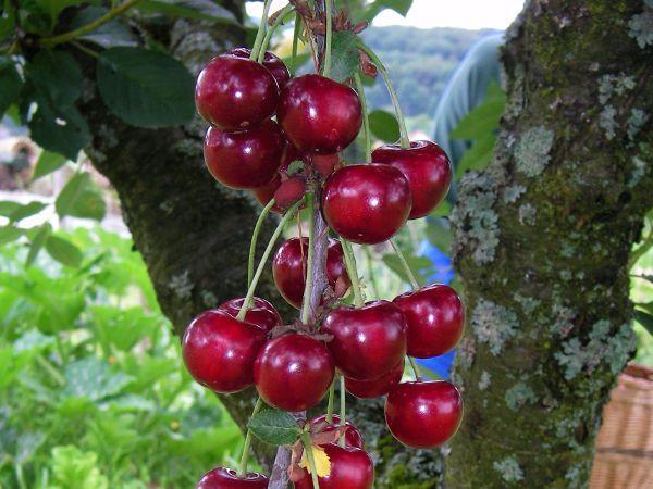 drzewa owocowe - czereśnia