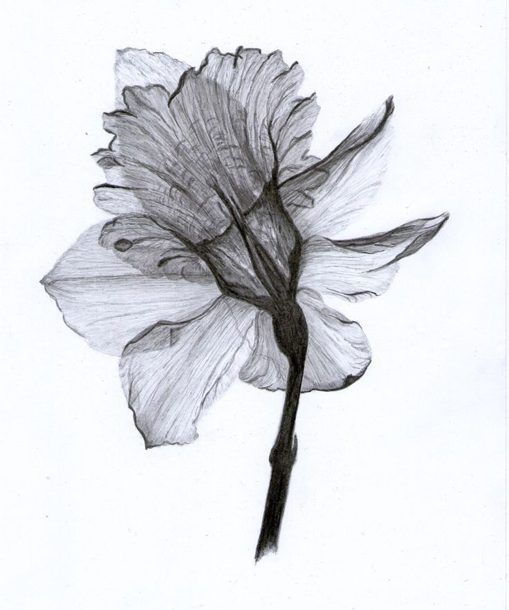 December Birth Flower Tattoo Black And White: 51 Best Daffodils Images On Pinterest