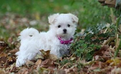 http://e-dogsite.com | Cute teacup #maltese puppy